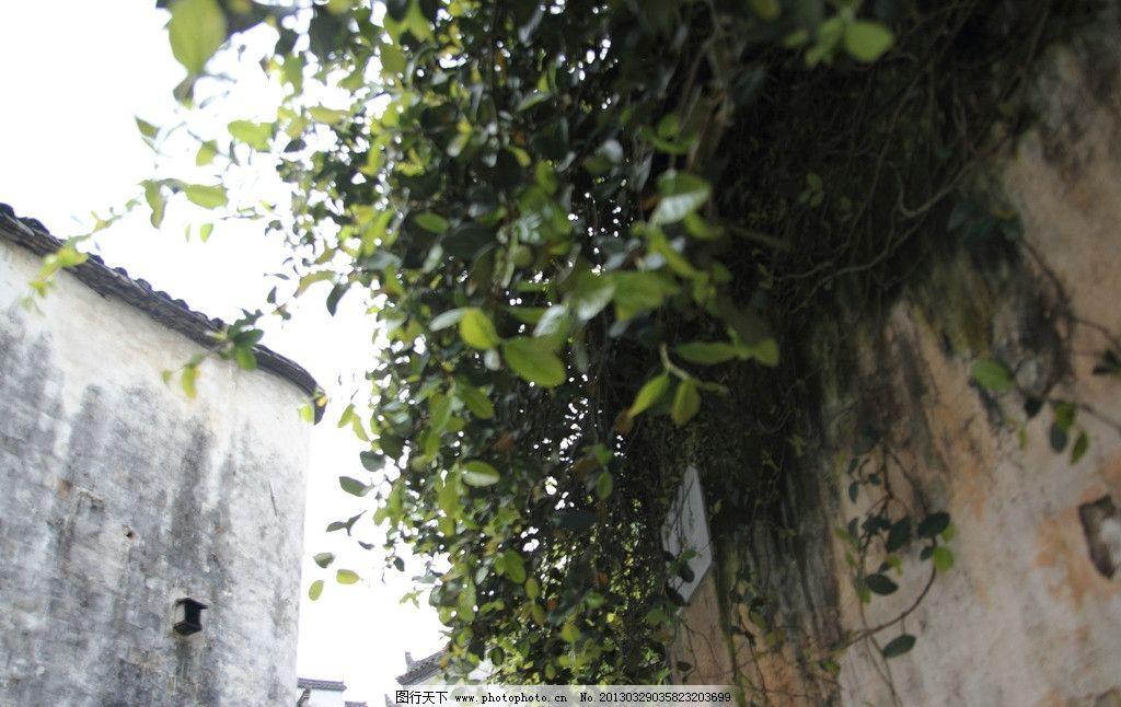墙角绿叶 绿色 生命 墙 藤蔓 叶子 树木树叶 生物世界 摄影 350dpi