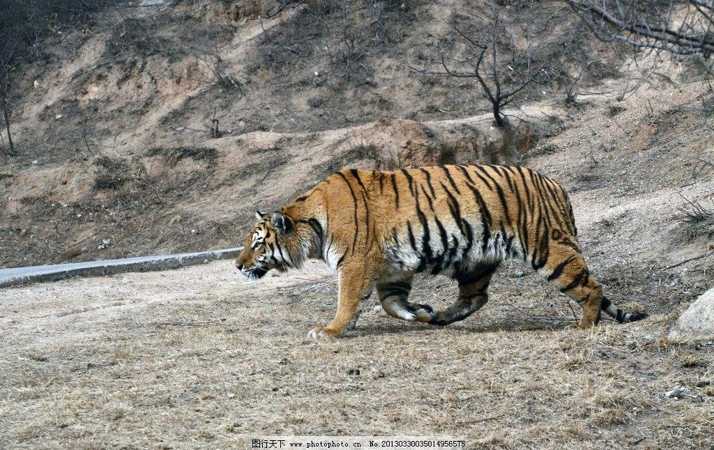 东北虎 野外 行走 一只 黄色 野生动物 生物世界 摄影