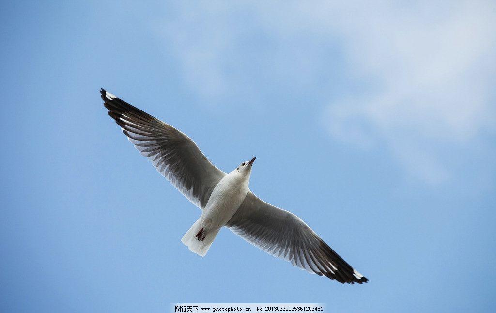 飞鸟 鸟 海鸥 展翅 翅膀 飞翔 鸟类 生物世界 摄影 72dpi jpg