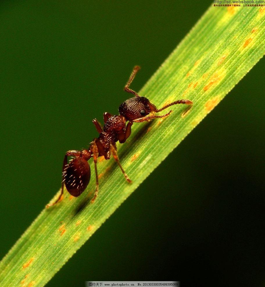 蚂蚁 树叶 向上 攀爬 昆虫 生物世界 摄影 72dpi jpg