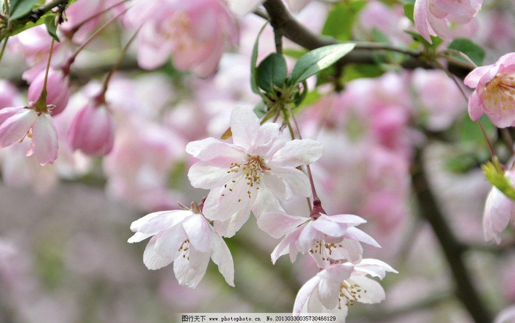 桃花 粉色 春天 美丽 风景 植物 春意 桃树 摄影