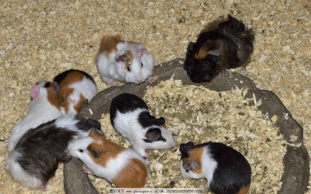 可爱的鼠 鼠 灰白黑色 动物 摄影图库 生态摄影 生物世界 动物特写