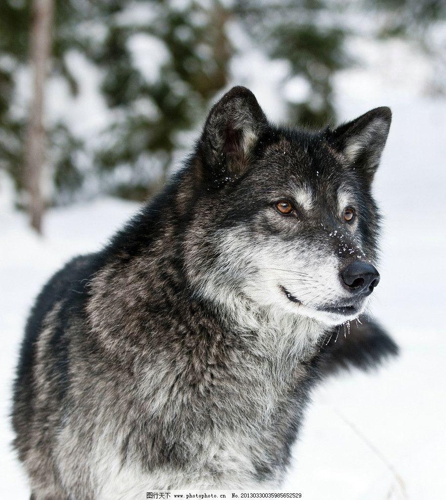 黑狼 高清 摄影 大图 动物 生物 冬天 眼睛 狼头