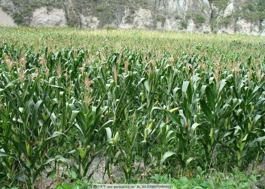玉米 农业 农村 风景 庄稼 农民 生活素材 摄影
