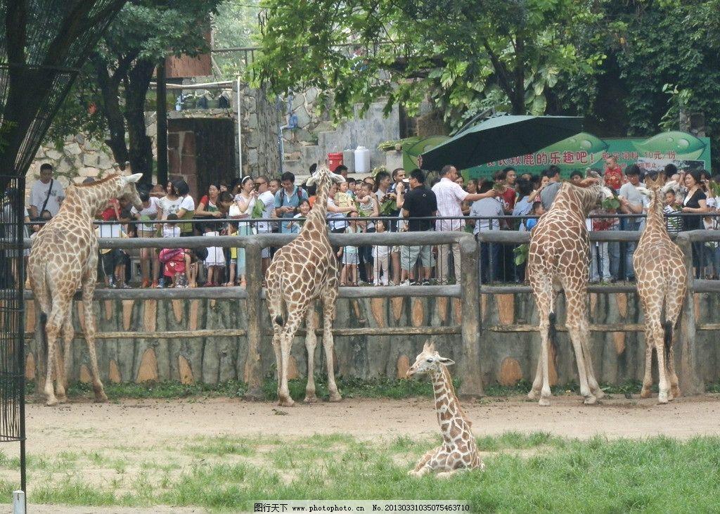 动物园 长颈鹿 人群 喂养动物 野生珍希动物 摄影