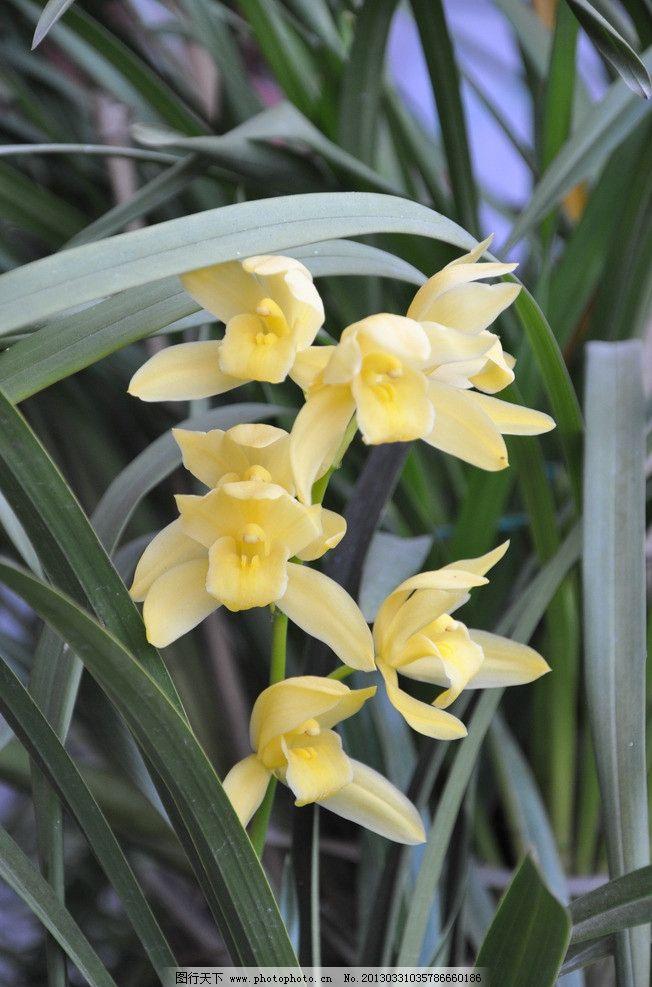 兰花 黄色 生物世界 自然 风景 花草 摄影