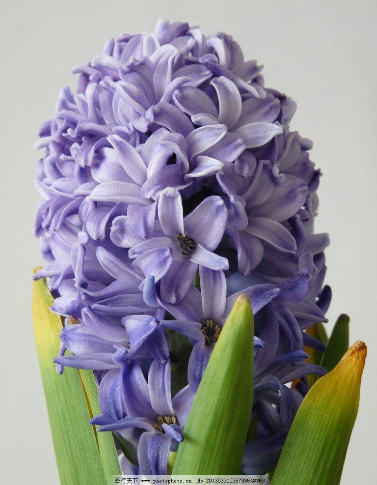 风信子 花卉 兰花 蓝花 花朵 鲜花 摄影 素材 花草 生物世界 180dpi j